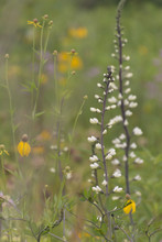 White Wild Indigo And Yellow Coneflower In A Meadow