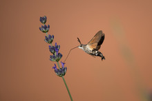 Hummingbird Hawk Moth Butterfly (Macroglossum Stellatarum) Drinking Nectar From Flower During Hovering Flight