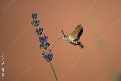 Obraz na plátně  Hummingbird Hawk Moth Butterfly (Macroglossum stellatarum) Drinking Nectar From