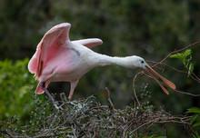 Roseate Spoonbill (Platalea Ajaja) Building A Nest, Florida, USA