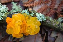 Tremella Mesenterica Jelly Fungi Close Up