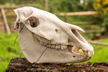 Zebra Skull Profile
