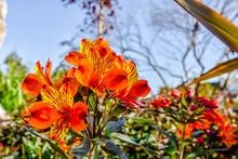 Jolies Lys Des Couleurs Rouge Et Orange En Fleur Dans Le Jardin