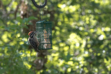 Hungry Ladder-backed Woodpecker At Suet Feeder