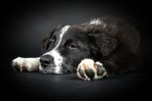 Schlafender Welpe Hund Auf Schwarzem Hintergrund