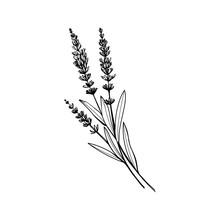 Lavender Black And White Vecto...