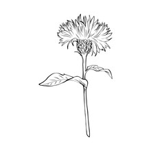 Milk Thistle Black And White Illustration. Silybum Marianum Inscription. Homeopathic Plant For Liver Treatment. Botanical Freehand Sketch. Thorny Wildflower Engraved Blossom. Poster Design Element