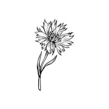 Cornflower Black Ink Vector Il...