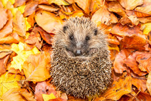 Hedgehog, Wild, Native, Europe...