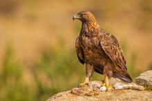 A Golden Eagle Landed On A Pre...