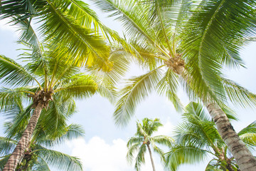 Fototapetatropical palm leaf background, coconut palm trees perspective view