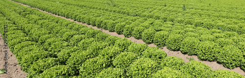 Photo tufts of green lettuce in a field