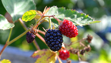 Brombeeren Aus Dem Eigenen Bio Garten