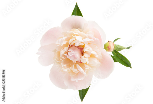 Fotobehang Bloemenwinkel peony flower isolated