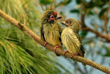 Two Birds Perched On A Branch, Indonesia