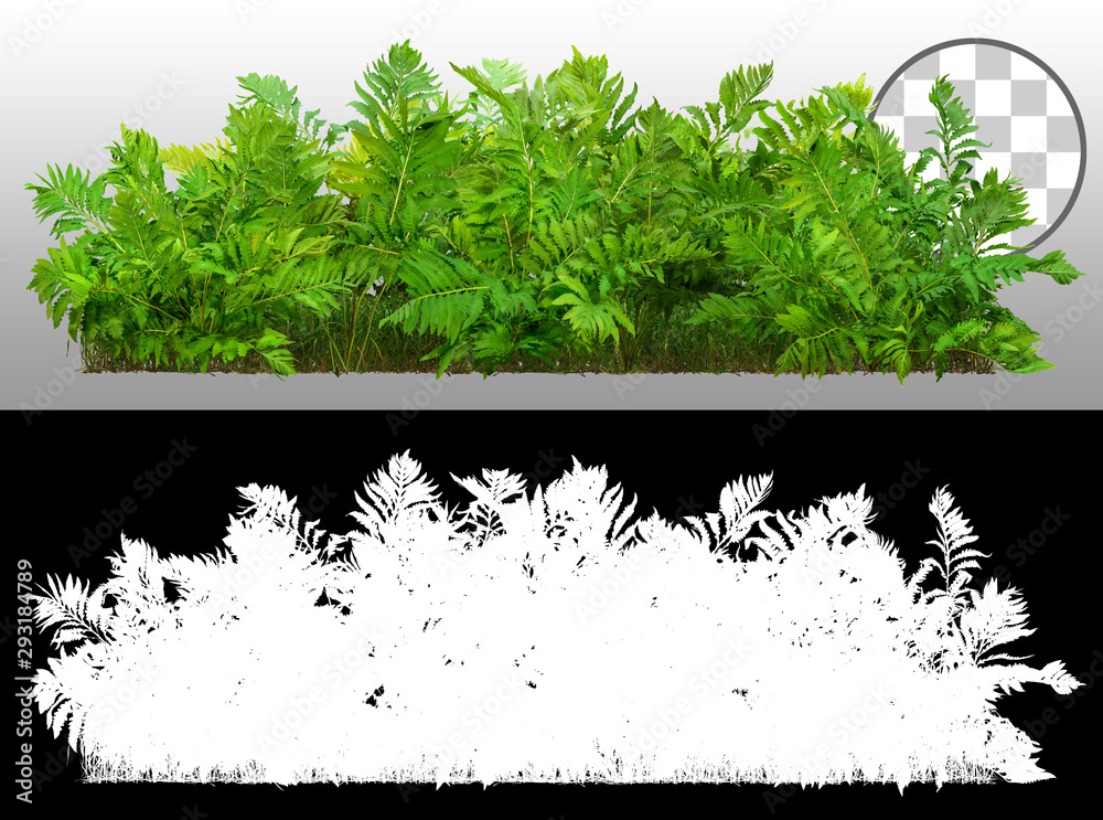 Fototapeta Green shrub. Bush of leafy branches. Foliage of plant isolated on transparent background via an alpha channel of great precision. High quality clipping mask for professional composition.