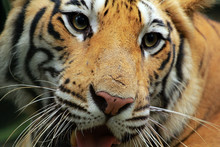 Portrait Of A Sumatran Tiger, ...