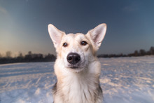 Portrait Of Mixed Breed Dog At Walk In Winter