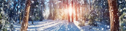 Fototapeta Pine trees covered with snow obraz