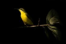 Sunbird On A Branch, Indonesia