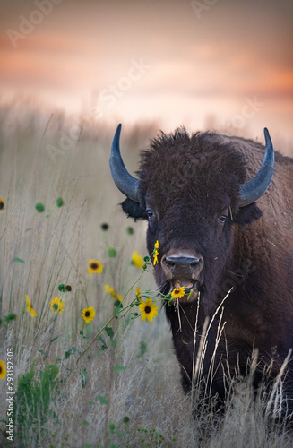 La pose en embrasure Bison Bison