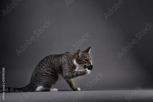 Fotografía Portrait of Little gray kitten on grey background in studio