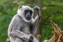 Hanuman Langurs Thinks And Scratches His Head