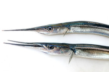 Fresh Raw Needlefish Against White Background. Needlefish Or Long Toms Are Piscivorous Fishes Primarily Associated With Very Shallow Marine Habitats Or The Surface Of The Open Sea.