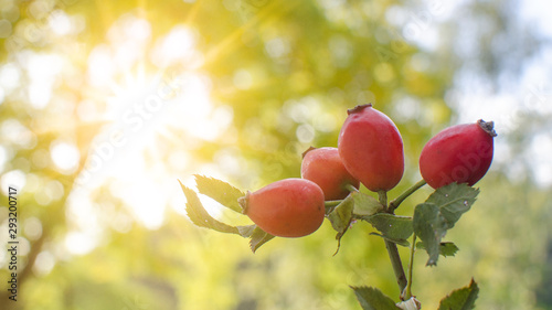 ripe red rosehip illuminated by the sun in autumn - 293200717