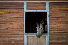 Horse Looking From Stable