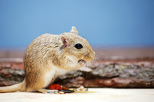 Mongolian Gerbil On A Wooden Board On A Blue Background