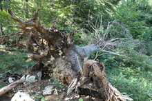 Uprooted Tree On Mountain