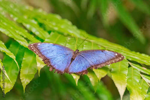 Valokuva Morpho peleides butterfly, with open wings, on a green leaf, with green vegetati