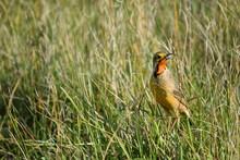 Cape Longclaw In The Grassland