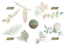 Vector Illustration Of Conifer...