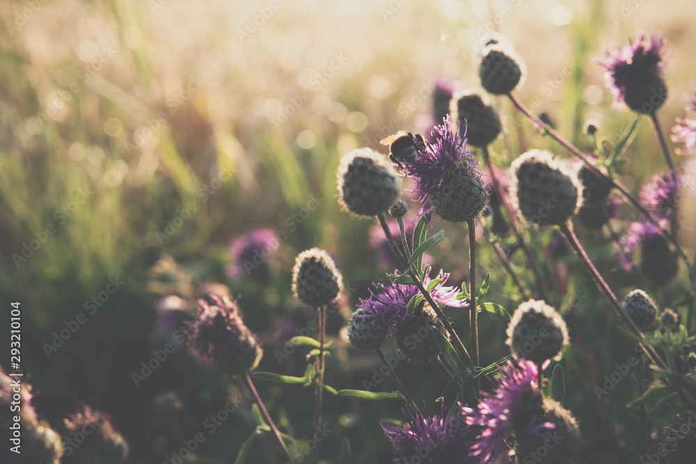 Fototapety, obrazy: purple plumeless thistle during sunset