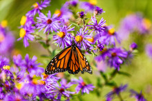 Monarch Butterfly Feeding On P...