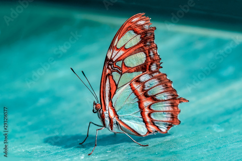 Photo sur Aluminium Papillon Closeup beautiful Malachite butterfly (siproeta stelenes) in a summer garden