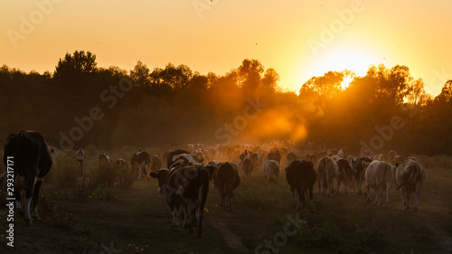 Fototapeta Epic scene of cattle farm - livestock of cows going at meadows pasture along the river Psel in Ukraine. Amazing morning scenery. Countryside background. Dairy natural bio production. 16:9 ratio. obraz