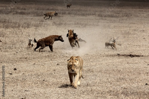 Deurstickers Hyena Beautiful shot of a lion walking with hyenas fighting in the background