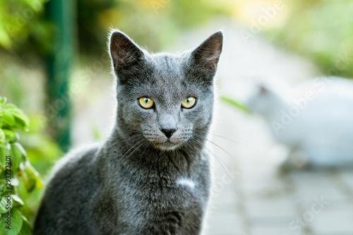 Cat Looking into Camera. Beautiful Gray Cat Close Up