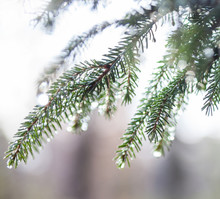 Fir Tree Branches Wet After The Rain