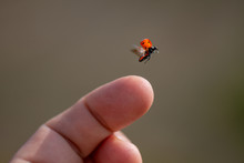 Red Lady Bug Background. Insec...