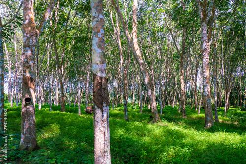 Foto auf AluDibond Grun Para rubber plantation tree tropical green forest