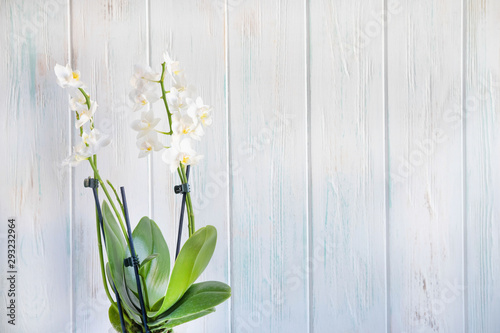 Poster Muguet de mai Photo of a white orchid flower on a white wooden background with a place for copy space.