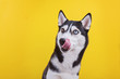 canvas print picture - Funny bi-eyed husky dog is liking his nose in studio on the yellow background, concept of dog emotions