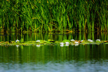 White Water Lilies On The Water Surface