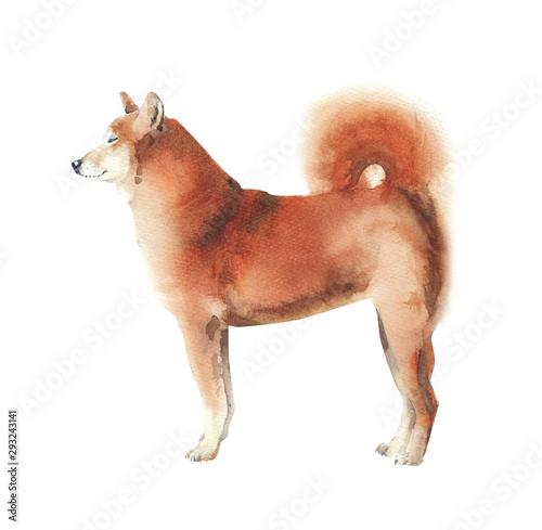Leinwand Poster  Dog watercolor illustration shiba inu breed pet animal isolated on white backgro