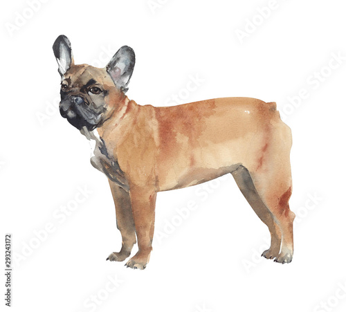 Fotomural Dog watercolor illustration french bulldog breed pet animal isolated on white ba