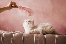 Silver Persian Kitten 5 Months Old Plays With A Pink Feather On A Pink Cream Chair On A Pink Background